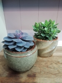 Duo of Large Succulents